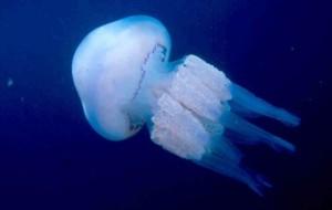 http://ca.wikipedia.org/wiki/Rhizostoma_pulmo