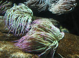 https://es.wikipedia.org/wiki/Anemonia_sulcata