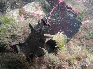 Liebre de Mar Negra (Aplysia fasciata) by Damiantxu