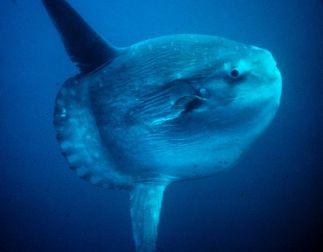 Pez Luna (Mola Mola) by US NOAA