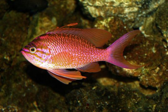 https://es.wikipedia.org/wiki/Anthias
