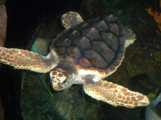 https://es.wikipedia.org/wiki/Caretta_caretta