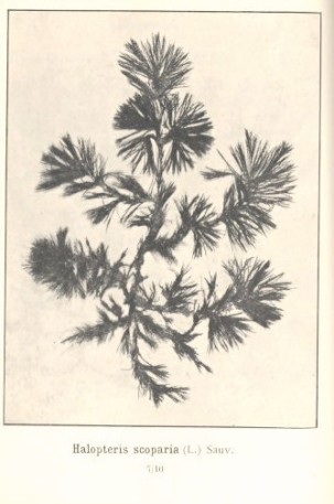 https://species.wikimedia.org/wiki/Halopteris_scoparia